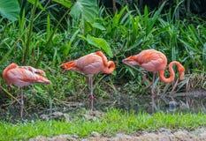 Tres rosados y flamenco anaranjado que se coloca en el agua poco profunda cerca del bosque verde, Singapur Fotografía de archivo libre de regalías