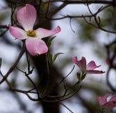 Tres rosados y flores blancas del dogwwod Fotos de archivo libres de regalías