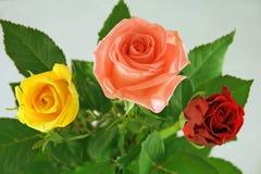 Tres rosas fotografía de archivo