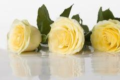 Tres rosas amarillas Imágenes de archivo libres de regalías