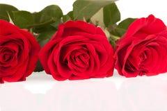 Tres rosas brillantes en el fondo blanco Imagen de archivo libre de regalías