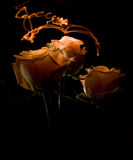 Tres rosas en fondo oscuro Imagen de archivo libre de regalías