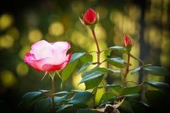 Tres rosas en jardín con el fondo del ramo Imágenes de archivo libres de regalías