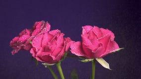 Tres rosas florecen durante una lluvia, descensos del agua que brillan, cámara lenta ascendente, cercana almacen de video