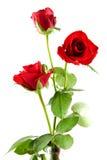 Tres rosas rojas Fotos de archivo
