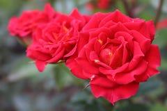 Tres rosas rojas imágenes de archivo libres de regalías