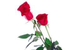 Tres rosas rojas aisladas en un blanco Fotografía de archivo libre de regalías