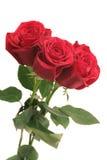 Tres rosas rojas hermosas Foto de archivo