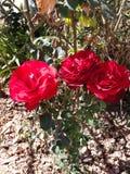Tres rosas rojas hermosas imagenes de archivo