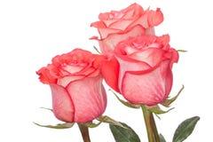 Tres rosas rosadas foto de archivo libre de regalías
