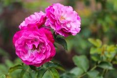 Tres rosas rosadas en un jardín Imagen de archivo