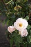 Tres rosas rosadas y Honey Bee Foto de archivo