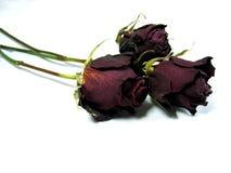 Tres rosas secadas Foto de archivo