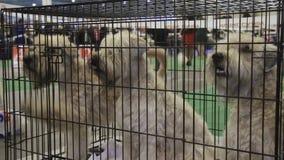Tres Schnauzers blancos bien educados que se sientan en jaula en la exposición del perro, animales domésticos entrenados almacen de video