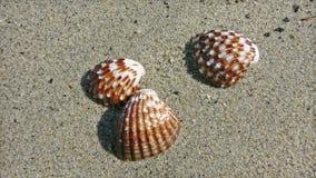 Tres seashells Foto de archivo libre de regalías