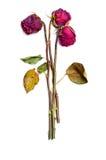 Tres secaron rosas rojas Fotos de archivo