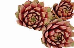 Tres Sempervivums brillantemente coloreado en el fondo blanco Fotografía de archivo libre de regalías