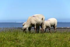 Tres sheeps en el prado Imágenes de archivo libres de regalías