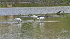 Tres spoonbills eurasiáticos en una piscina en el pantano fotos de archivo