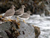 Surfbirds en una roca Imagenes de archivo