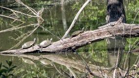 Tres Texas River Cooter Turtles y una serpiente de agua de Diamondback que toma el sol en el sol Imagenes de archivo