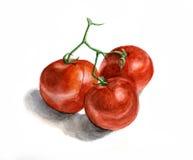 Tres tomates en una ramificación Pintura de la acuarela Foto de archivo libre de regalías