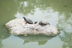 Tres tortugas en roca en parque de la piscina Foto de archivo libre de regalías