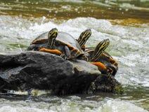 Tres tortugas en una roca Imágenes de archivo libres de regalías