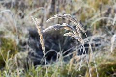Tres troncos de alta hierba seca del campo cubierta con escarcha después de una helada de la noche Imagen de archivo libre de regalías