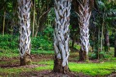 Tres troncos de la palma en jardín botánico en la isla de Oahu foto de archivo