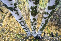 Tres troncos de los árboles de abedul, la visión desde el top a la parte inferior Fotos de archivo
