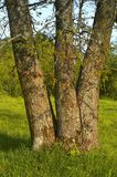 Tres troncos del roble en prado Imagen de archivo libre de regalías