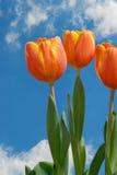 Tres tulipanes Fotografía de archivo