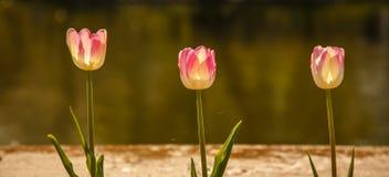 Tres tulipanes Fotos de archivo