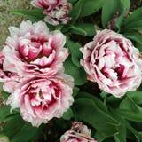 Tres tulipanes Imagen de archivo libre de regalías