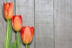 Tres tulipanes anaranjados Imagen de archivo libre de regalías