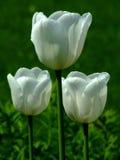 Tres tulipanes blancos Fotos de archivo libres de regalías
