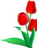 Tres tulipanes brillantes de las flores del rojo con las hojas verdes Imágenes de archivo libres de regalías