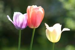 Tres tulipanes de Pascua - cercanos Fotografía de archivo libre de regalías