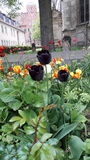 Tres tulipanes negros Foto de archivo