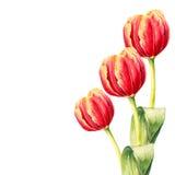 Tres tulipanes realistas de la acuarela Mano drenada Foto de archivo