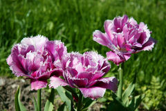 Tres tulipanes rizados rosados en campo de la primavera Imagen de archivo