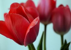 Tres tulipanes rojos de la primavera florecen fotos de archivo