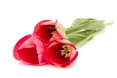 Tres tulipanes rojos en el fondo blanco Imagen de archivo libre de regalías