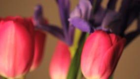 Tres tulipanes rosados de giro y una flor púrpura almacen de metraje de vídeo