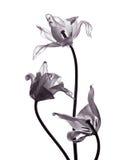 Tres tulipanes tranparent en el fondo blanco Imágenes de archivo libres de regalías