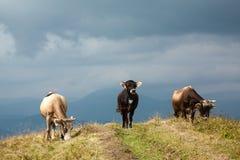 Tres vacas fotografía de archivo libre de regalías