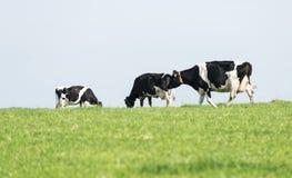 Tres vacas blancos y negros que pastan Imagen de archivo