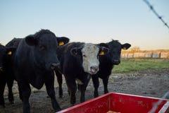 Tres vacas de ganado negras hambrientas Foto de archivo