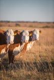 Tres vacas de Hereford imagenes de archivo